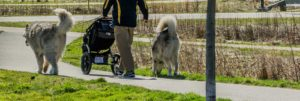 Person Pushing Stroller and Walking Two Dogs