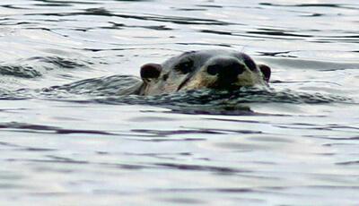 Beaver in Water at Bass Lake Preserve Habitat